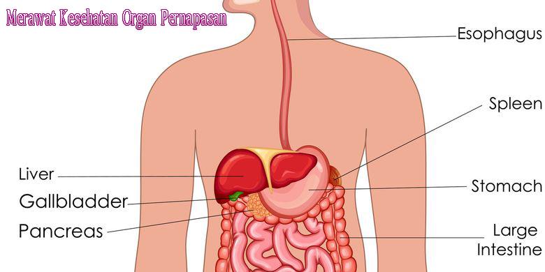 Cara Merawat Kesehatan Organ Pernapasan